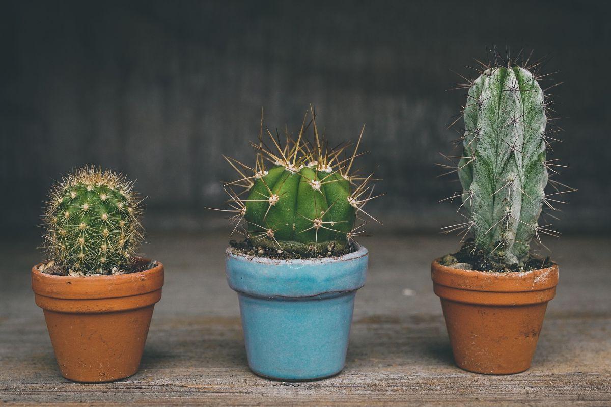 Cada cuánto se riega un cactus