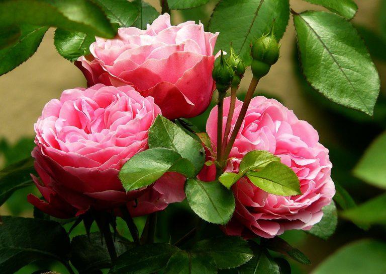 Hay que regar los días antes de injertar rosas