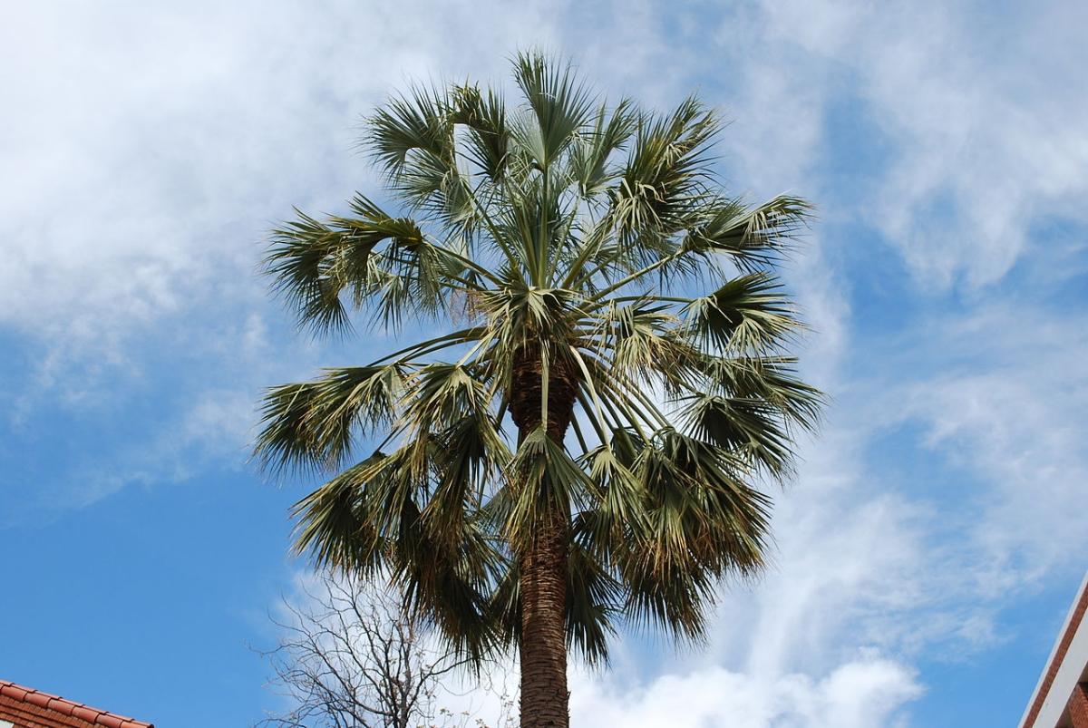 El Sabal uresana es una palmera rústica