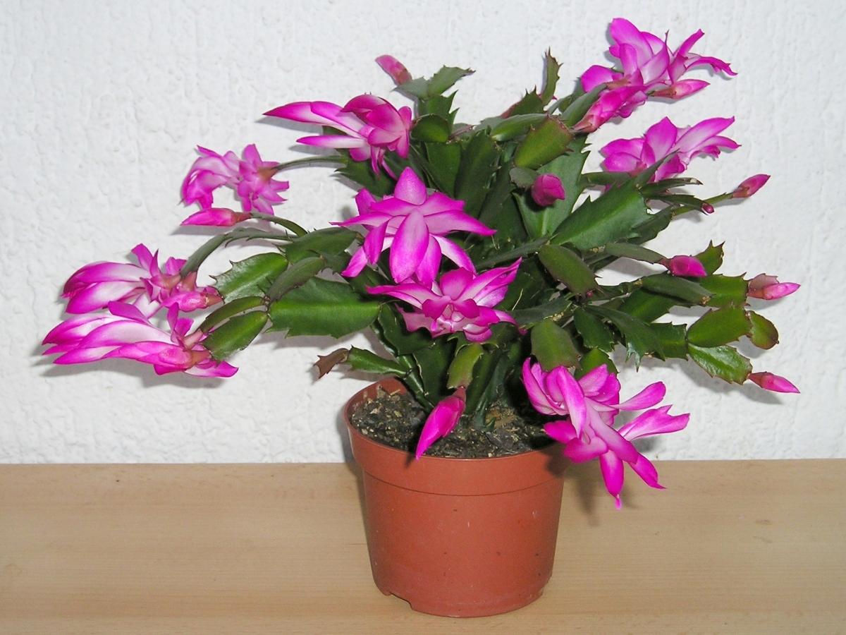 La Schlumbergera truncata es un cactus de sombra